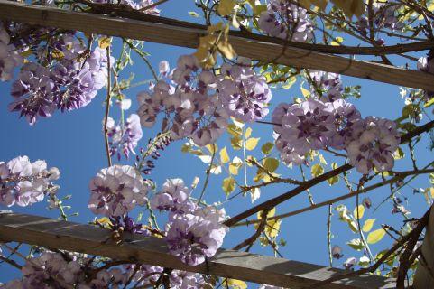 Under a wisteria sky