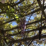 final wisteria
