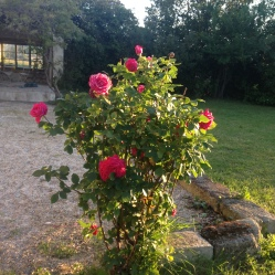 Roses and boule pitch!