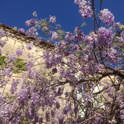 More blooming wisteria