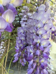 Wysteria close up